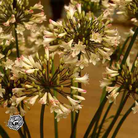 Весеннецветущие спиреи  описание фото  Dachaliveru