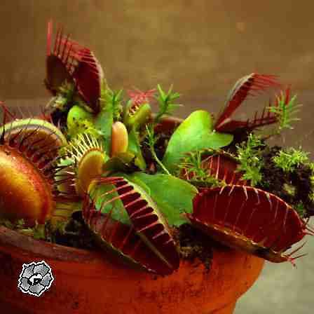 Комнатное растение мухоловка